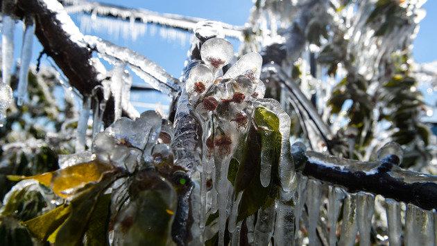Viele Kirschbäume haben trotz Frostberegnung in den Nächten stark gelitten. (Bild: zeitungsfoto.at/Liebl Daniel)