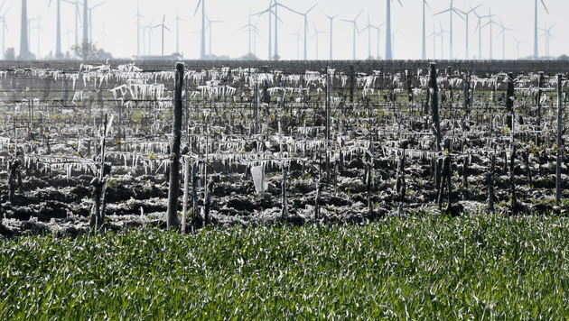 Frostschäden: Winzer kommen mit blauem Auge davon (Bild: Tanja Gisch)