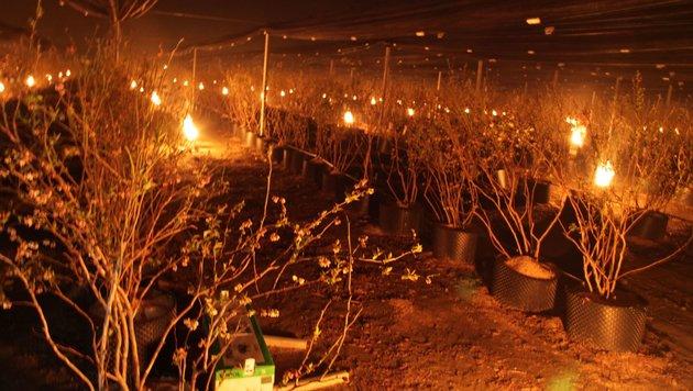 500 Paraffinkerzen brannten in der Nacht auf Freitag im Heidelbeergarten in Ebenthal (Bild: Matschnig)