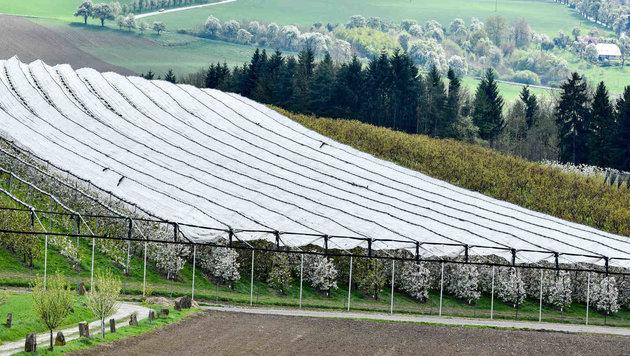 Mit Vlies und Netzen schützten Bauern ihre Obstbäume vor dem Frost. (Bild: Markus Wenzel)