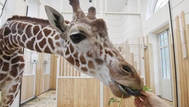 Tiergarten Schönbrunn: Die Giraffen sind da! (Bild: Norbert Potensky)