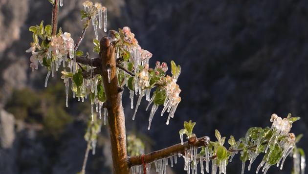 Frostschäden: Winzer kommen mit blauem Auge davon (Bild: Gebi Schnöll)