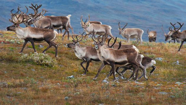 2200 Rentiere in Norwegen müssen getötet werden (Bild: thinkstockphotos.de)