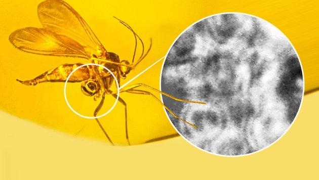 Die in Bernstein eingeschlossene Trauermücke samt Pollenpaket (Kreis) (Bild: Oregon State University/Georg Poinar)