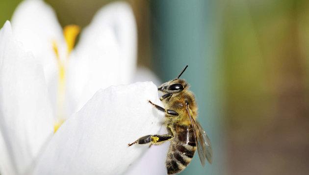 Die Bienen sind gefährdet. In Oberöstereich setzten sich etliche Gemeinden für die Insekten ein. (Bild: www.viennareport.at)
