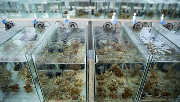 Die Korallen bei Tests im Labor (Bild: EPFL/Itamar Grinberg)