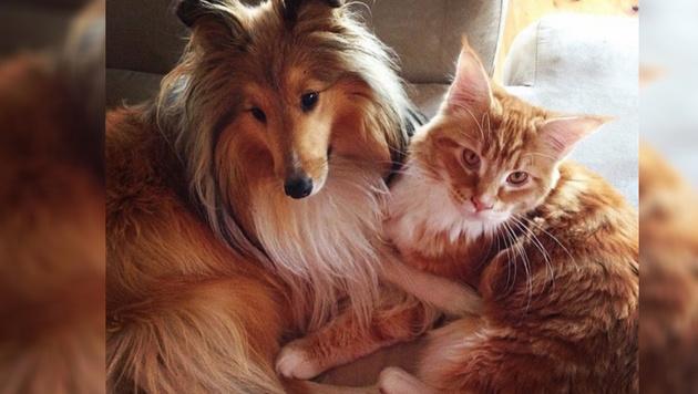 Riesenkatze Omar kuschelt gern mit Mitbewohnerin Penny (Bild: @omar_mainecoon/instagram.com)