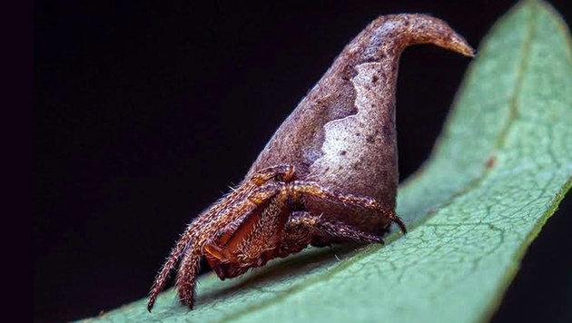 Eriovixia gryffindori (Bild: IISE/Sumukha J. N.)