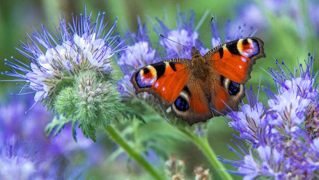 Große Schmetterlingszählung in Österreichs Gärten (Bild: APA/Jens Büttner)