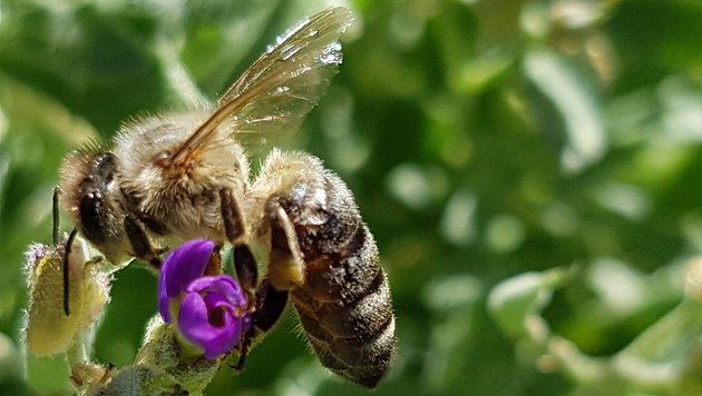 Dieser fleißigen Biene ist keine Blüte zu klein (Bild: Werner Pöchinger)