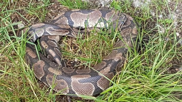 Spaziergänger entdeckt 1,20 Meter langen Python (Bild: APA/LPD NIEDERÖSTERREICH/PRIVAT)