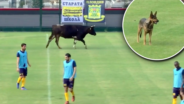 Tierischer Platzsturm! Kuh und Hund am Spielfeld (Bild: YouTube.com)