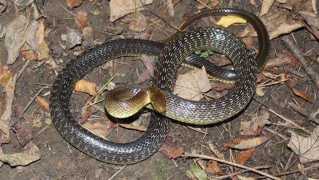 Diese Natter barg Reptilienexperte Hans Esterbauer am Wochenende in Sierning-Neuzeug. (Bild: Hans Esterbauer)