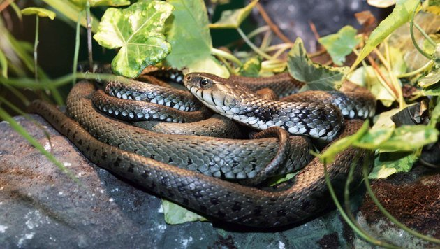 18 Schlangen aus Garten einer Familie entfernt (Bild: Reinhard Judt)