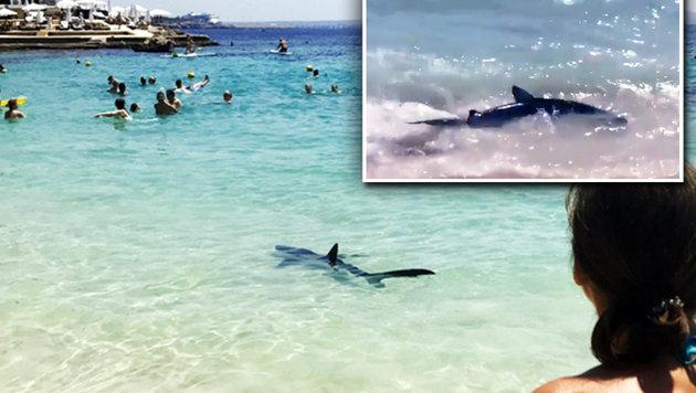 Verletzt: Mallorca-Hai an Strand eingeschläfert (Bild: twitter.com)