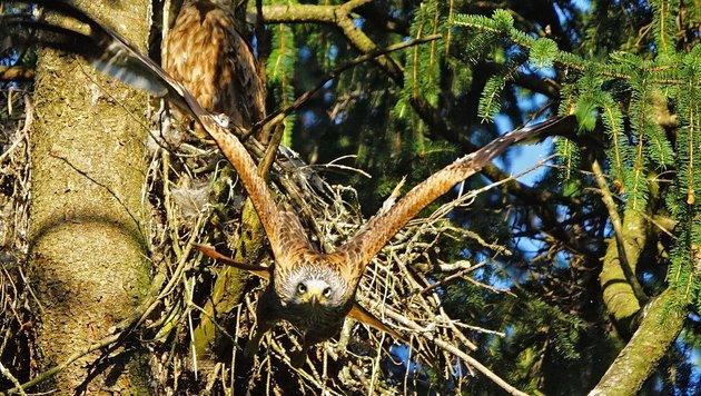 Im Kobernaußerwald beobachten Jäger mehrere Rotmilan-Brutpaare und gerade flügge werdende Jungvögel. (Bild: ja)