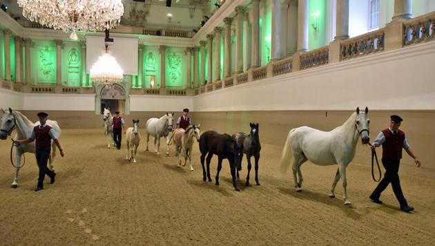 """Die Lipizzaner-Fohlen sind die Stars des Sommerprogramms """"Piber meets Vienna"""". (Bild: Michaela Braune)"""