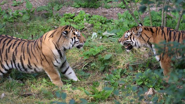 """""""Thambi"""" (links im Bild) wird von den Tiger-Damen noch auf Anstands-Abstand gehalten. (Bild: Zoo Schmiding)"""