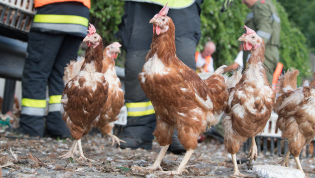 Tausende Hühner sorgten auf A1 für Verkehrschaos (Bild: APA/FOTOKERSCHI.AT/KERSCHBAUMMAYR)