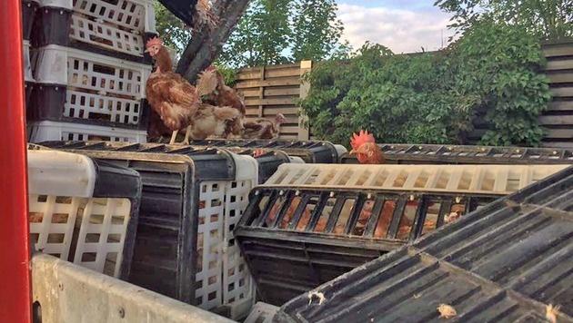 Tausende Hühner sorgten auf A1 für Verkehrschaos (Bild: Bezirksfeuerwehrkommando Linz-Stadt)