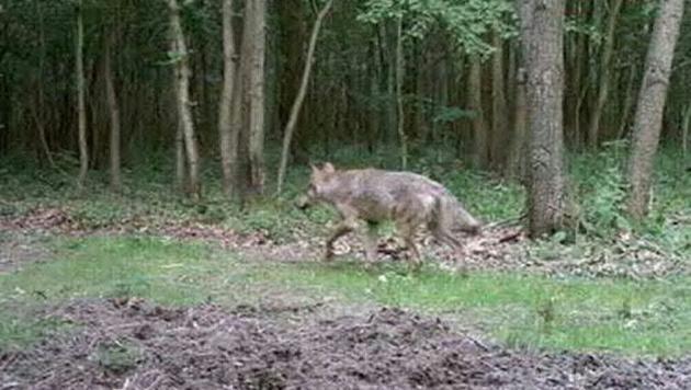 Eine Wildtierkamera hat das Tier aufgenommen. (Bild: APA/NATURPARKGEMEINDE BAUMGARTEN)