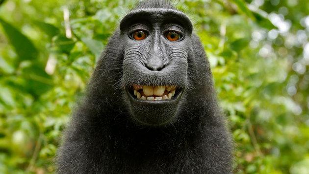 Das Copyright an dem Foto gehört bislang keinem - weder dem Fotografen noch dem Affen. (Bild: David Slater oder Naruto, krone.at-Grafik)