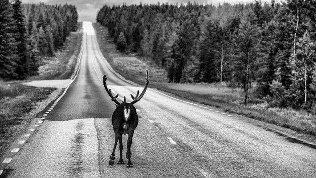 Elch in Schweden (Bild: BAUMANN MANFRED)