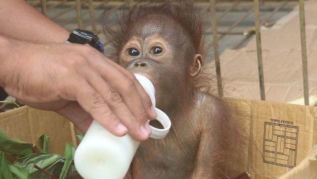 """Vier Pfoten"" retten verwaistes Orang-Utan-Baby (Bild: Jejak Pulang/Vier Pfoten/Agustina DS)"