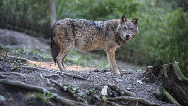 Die Wahrscheinlichkeit, dass ein Wolf in Kaltenberg drei Schafe gerissen hat, ist groß. (Bild: Vier Pfoten / Foto: Jörg Dieckmann)