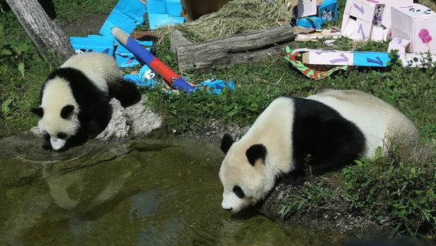 Schönbrunner Panda-Zwillinge feiern Geburtstag (Bild: Peter Tomschi)