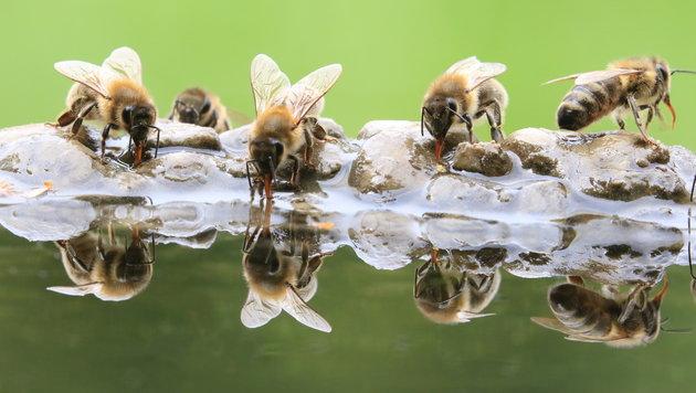An heißen Tagen werden auch Bienen durstig. Doch wieviel Chemie ist im Wasser? (Bild: Marius Holzapfel)