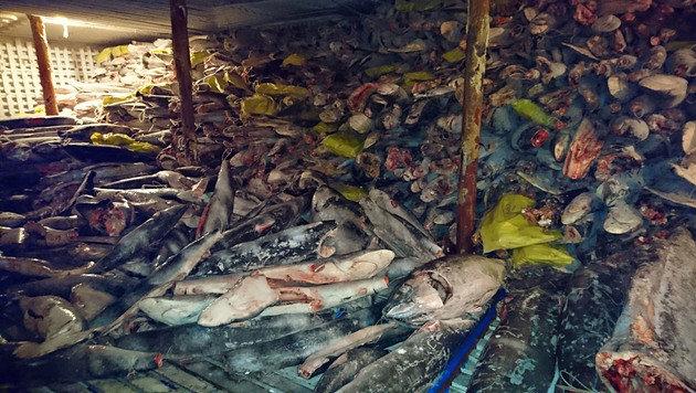 Auf Schiff aus China mehr als 6600 Haie entdeckt (Bild: AFP)