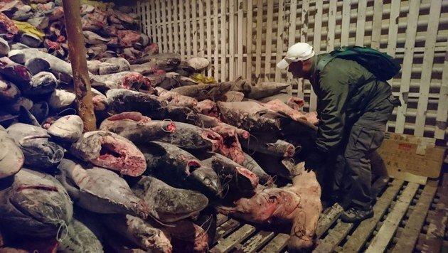 Auf Schiff aus China mehr als 6600 Haie entdeckt (Bild: EPA)