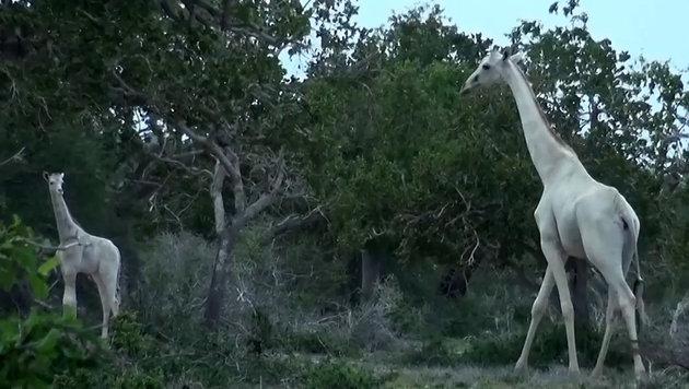Ranger filmt in Kenia zwei schneeweiße Giraffen (Bild: YouTube.com)