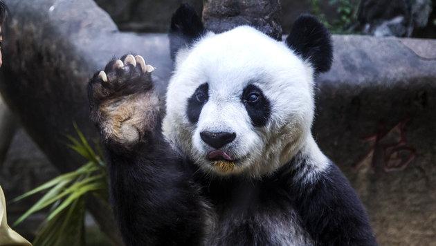 Ältester Panda der Welt mit 37 Jahren gestorben (Bild: AP)