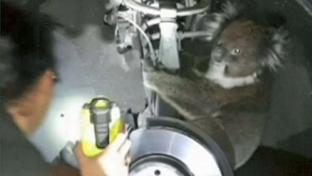 Bis auf ein paar verbrannte Stellen im Fell überstand das Koala-Weibchen die Fahrt unverletzt. (Bild: AP)