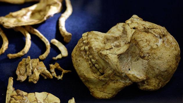 """Skelett von Vormensch """"Little Foot"""" präsentiert (Bild: Associated Press)"""