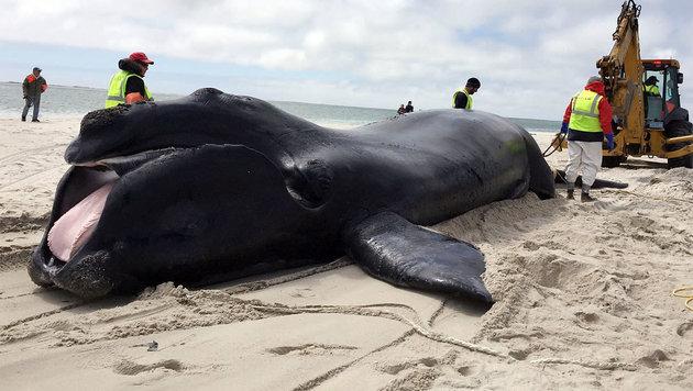 Ein toter Atlantischer Nordkaper am Stand von Chatham (Massachusetts) (Bild: AP)
