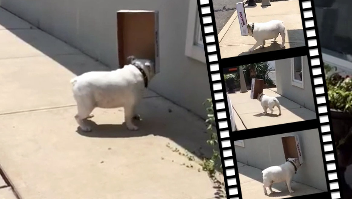 Autsch! Bulldogge Diesel läuft gegen die Wand  (Bild: YouTube.com/Isabel Santos)