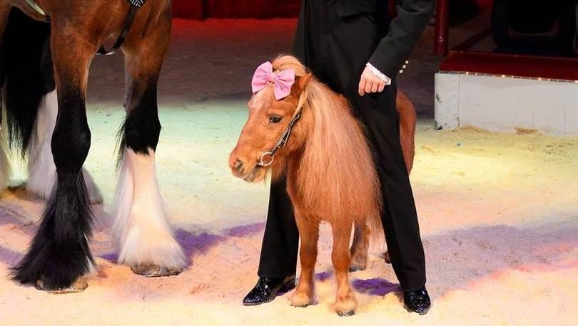 Klein, aber DER Star: Zirkus-Pony Billy  (Bild: Roncalli)
