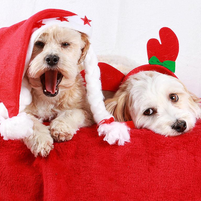 Entzückend! Weihnachtshunde erobern das Web (Bild: stock.adobe.com)