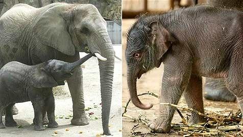 Elefanten Teenie-Sex