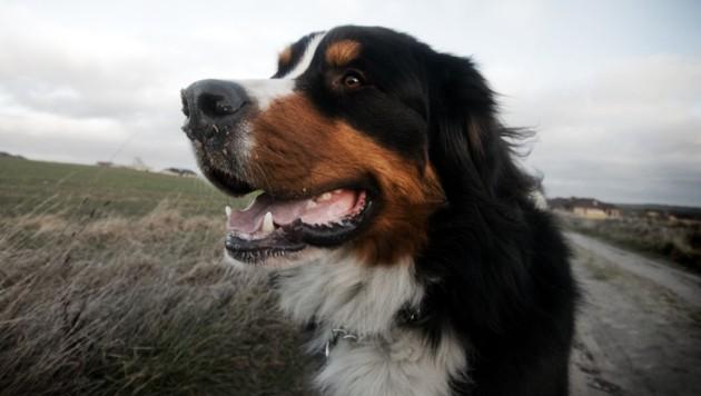 Sennenhund Symbolfoto (Bild: thinkstockphotos.de (Symbolbild))
