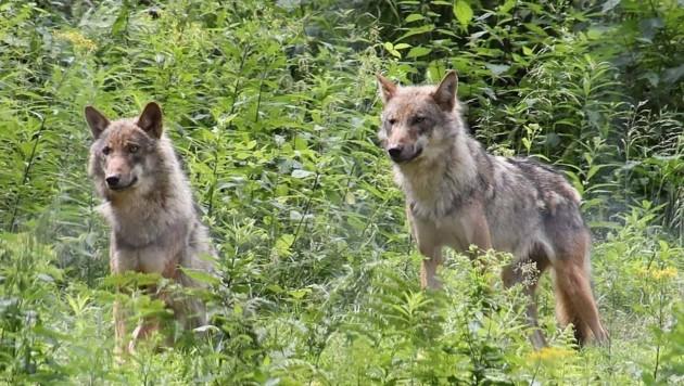Die Wolfspopulation in Europa nimmt immer mehr zu und verursacht dadurch auch Probleme (Bild: Jürgen Radspieler)