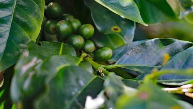 Unter anderem ist der Anbau von Kaffee mitverantwortlich für Rodungen im Regenwald. (Bild: AFP/David Gannon)
