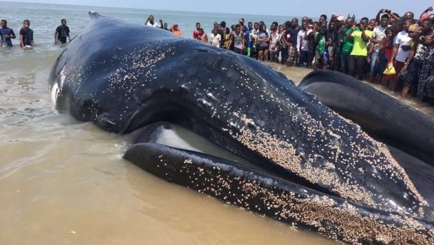 Der gut 20 Meter lange Wal ist aus unbekannten Gründen nahe Beira gestrandet (Bild: Thomas Leitner)