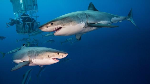 (Bild: Sharkproject Austria)