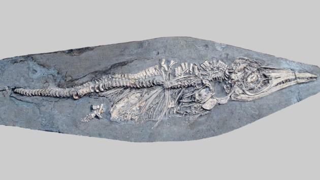 Das 200 Millionen Jahre alte Fossil des Ichthyosaurus communis (Bild: University of Manchester)