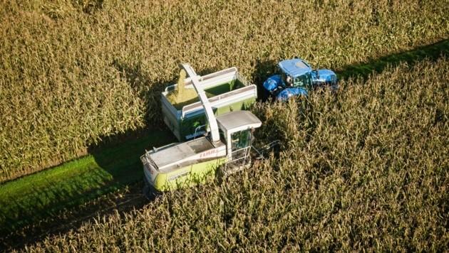 Die Cannabisplantage wurde in einem Maisfeld angebaut. (Bild: Daniel Scharinger)