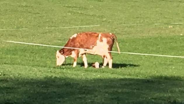 Eine Stunde nach dem Unglück graste die Kuh wieder auf der Weide. Das Kalb liegt unter ihr im Gras. (Bild: FF Uttendorf)